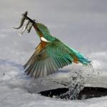 bird catching fish tcfle