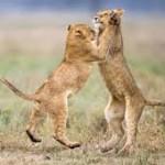 cubs waltz