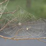 spider web branch